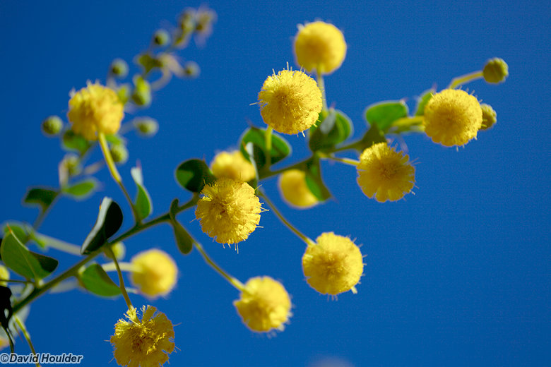 Acacia in flower in Hugh Gorge