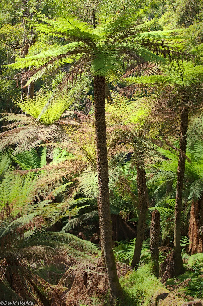 Huge tree ferns