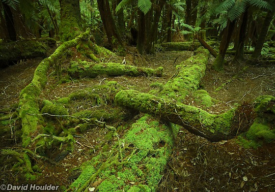 Tarkine Myrtle Forest