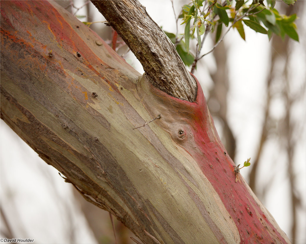 Eucalypt branch at Waterfall Valley
