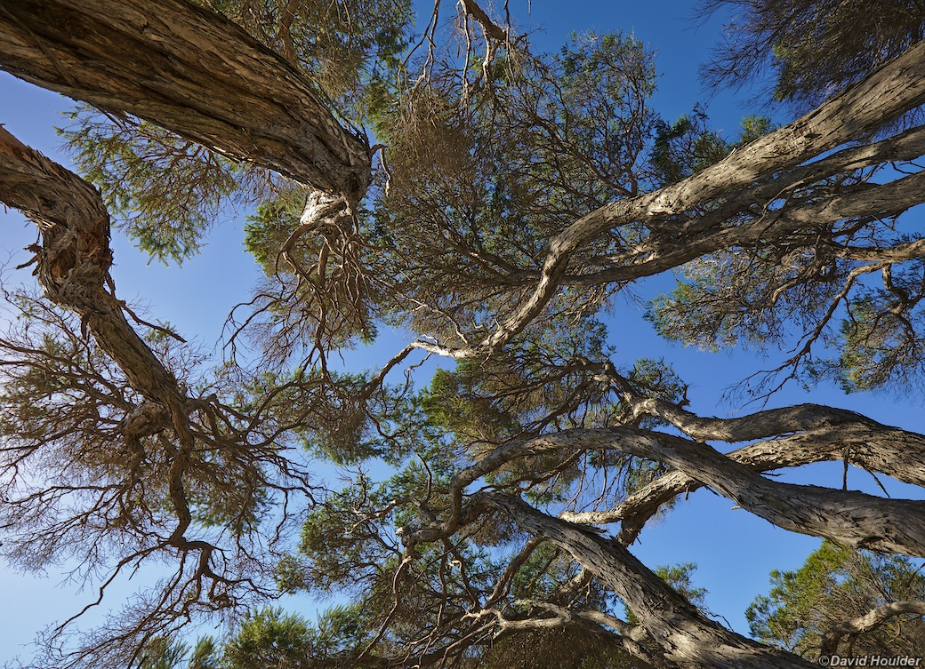 Tea-tree canopy
